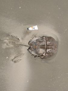 Huge horseshoe crab